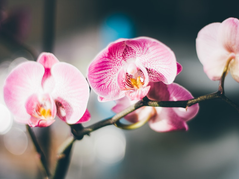 Keindahan yang Alami dari Kecantikan Bunga Anggrek